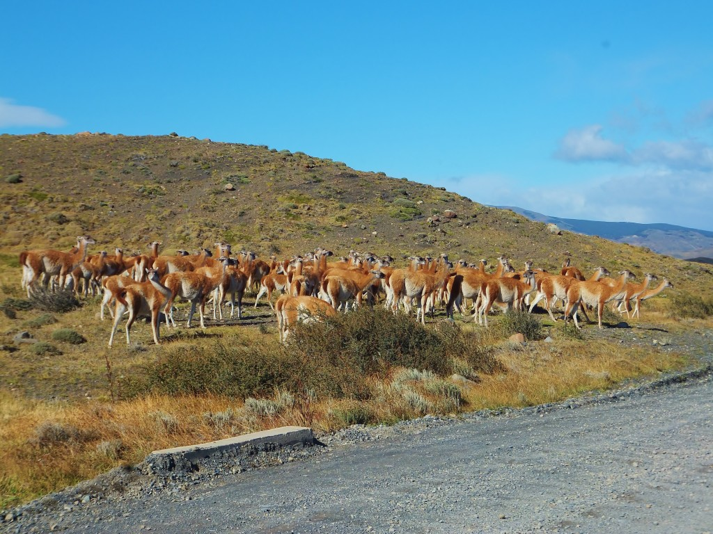 A pack of guanacos in Torres del Paine National Park, Chile