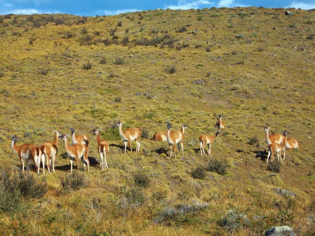 Chile Torres del Paine National Park guanacos
