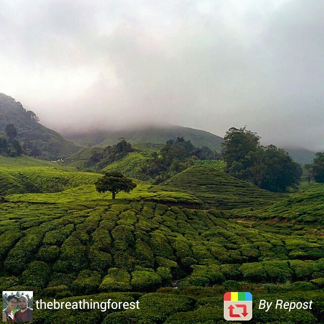 Green tea plantations of the Cameron Highlands, Malaysia