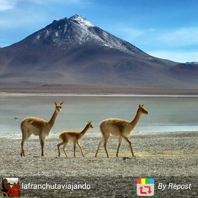 Family of llamas, Bolivia