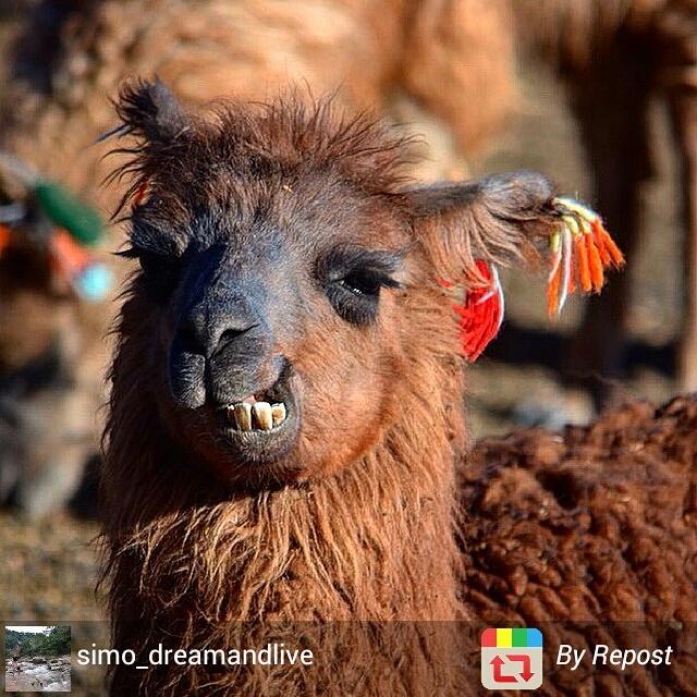 Smiling llama, Bolivia