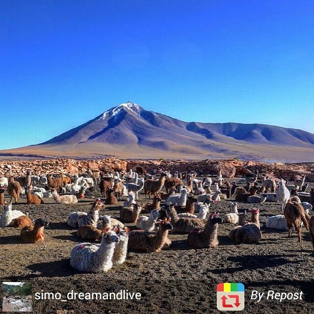 Herd of llamas, Bolivia