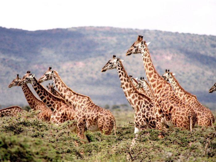 africa-masai-mara-giraffes